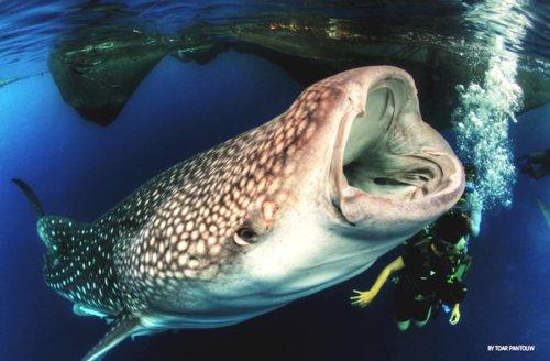 Foto hius paus yang sedang membuka lebar mulutnya